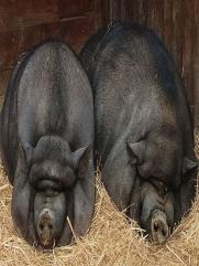 Две зрелые вьетнамские свиньи