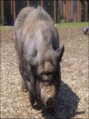Вислобрюхая свинья на прогулке