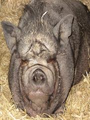 Вьетнамская свинка отдыхает